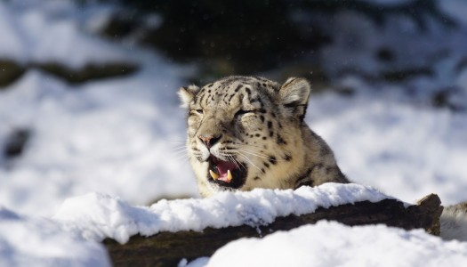 Skier chased by snow leopard in Gulmarg, India