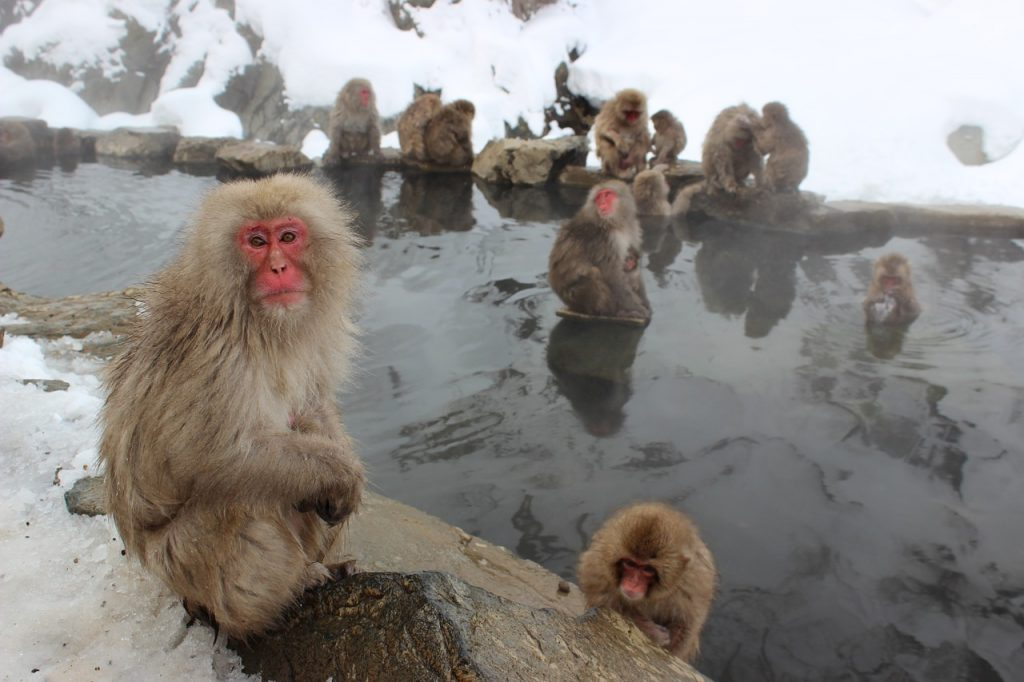 Snow monkeys at Jigokudani Monkey Park