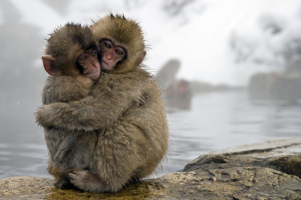 Snow monkeys hugging