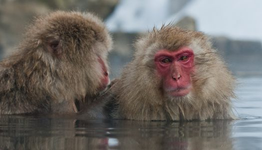 Finding snow monkeys in Japan