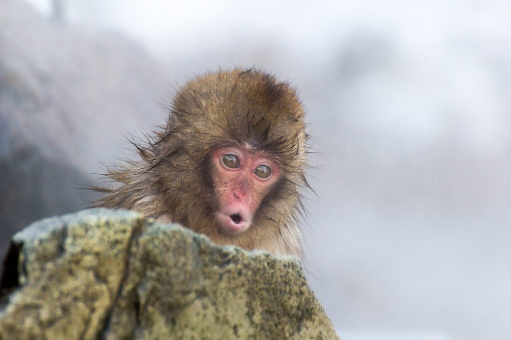Baby snow monkey at Jigokudani Monkey Park