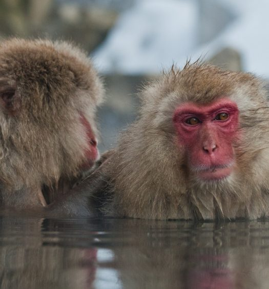 Snow monkeys in Jigokudani hot springs